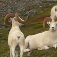 Dall_sheep_denali