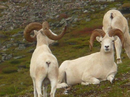 Dall_sheep_denali