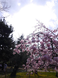 201503sakura2